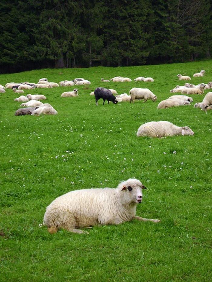 sheep-supertext-translation