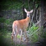 Die Bambi-Lüge: Wie eine falsche Übersetzung eine ganze Generation verwirrt